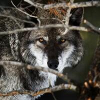 siskiyou-gray-wolf-8-6-15-thumb-630x367-96124