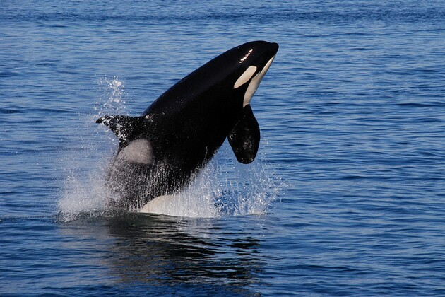southern-resident-killer-whale-3-3-15-thumb-630x420-88883