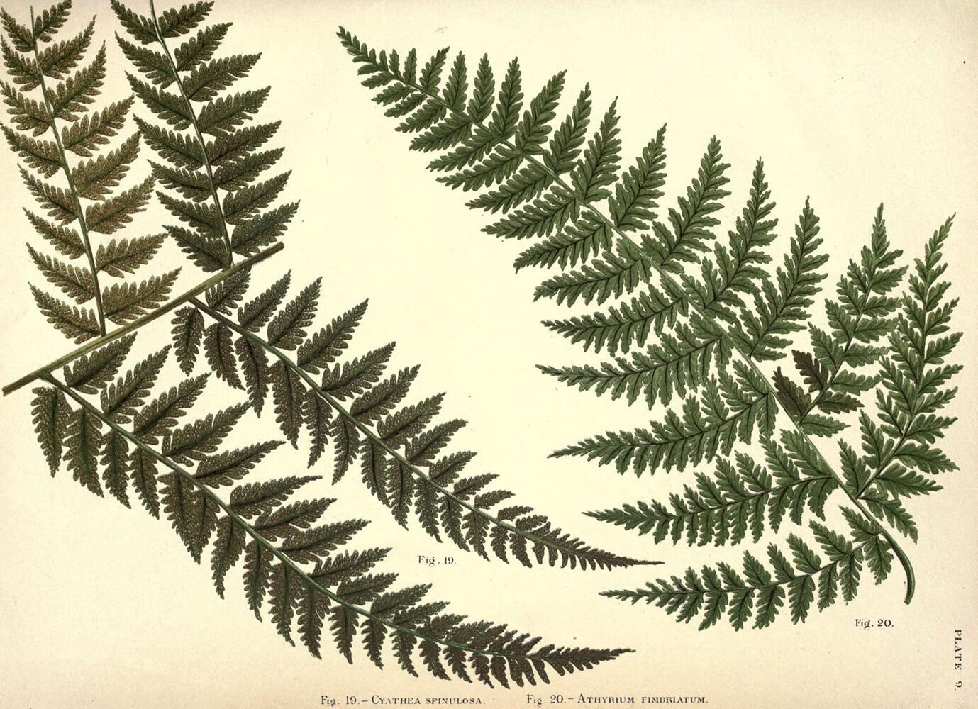 Athyrium | Biodiversity Heritage Library | Album of Indian Ferns, 1887 (CC BY-NC-SA 2.0)