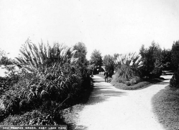 Pampas Grass in Eastlake Park. Courtesy of the California Historical Society Collection, Title Insurance and Trust, and C.C. Pierce Photography Collection, USC Libraries.