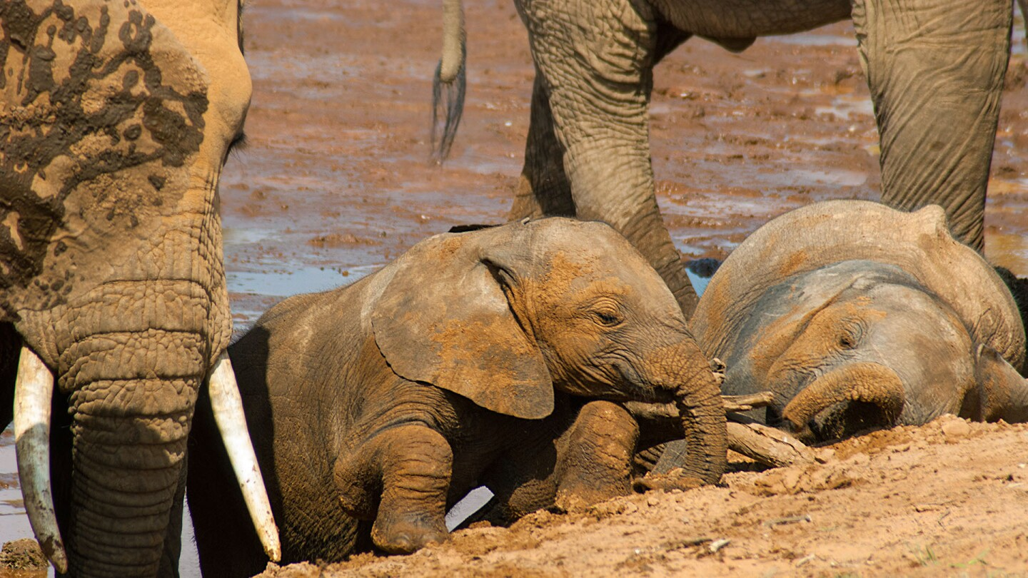 A young elephant plays in the mud.