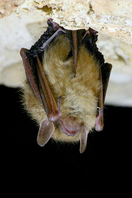 An eastern pipistrelle bat in Texas   Photo: iStock.com/jollyphoto