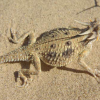 flat-tailed-horned-lizard-6-11-14-thumb-600x407-75433