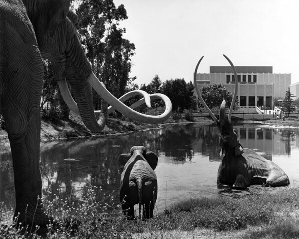 Some animals traveled the ancient precursor to Wilshire Boulevard looking for water but found only death at the tar pits of Hancock Park. Photo courtesy of the Los Angeles Public Library Photograph Collection.