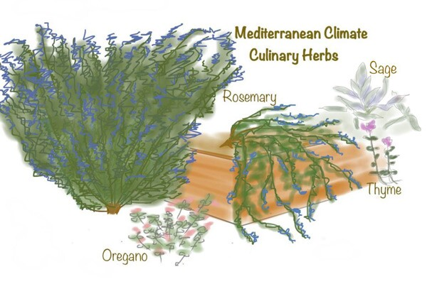 Mediterranean Climate Herbs