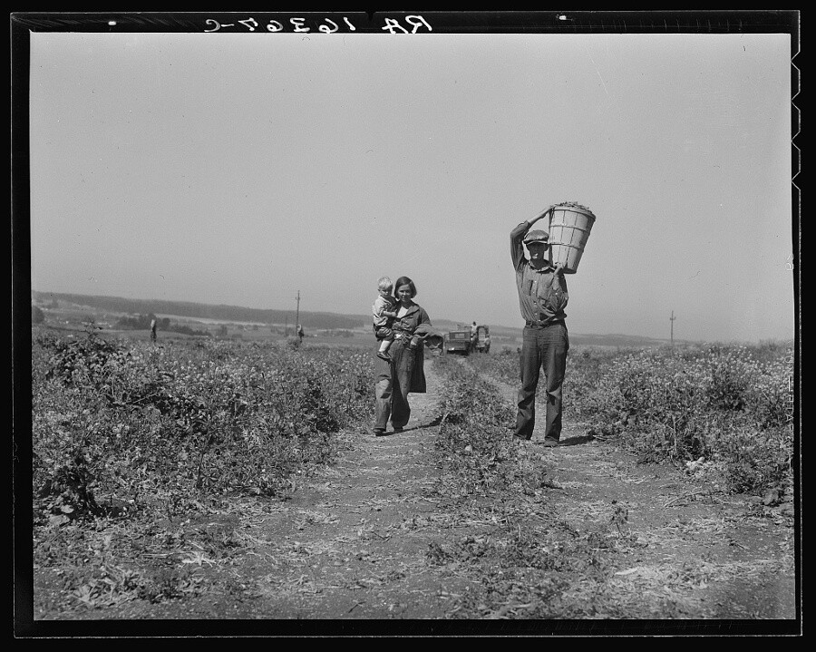 "Dorothea Lange, ""Drought refugees from Oklahoma at work in the pea fields near Nipomo, California,"" 1937. 