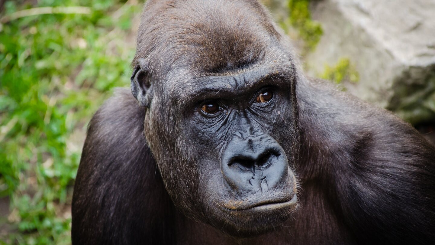A gorilla's face. | Flickr/Mathias Appel/Public Domain