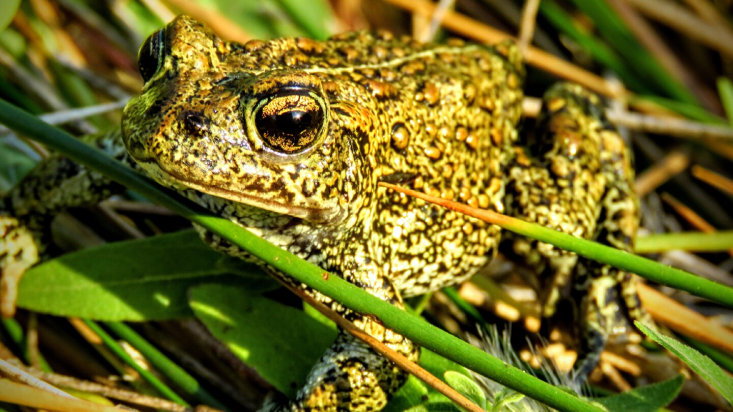 Dixie Valley toad | Photo: Patrick Donnelly
