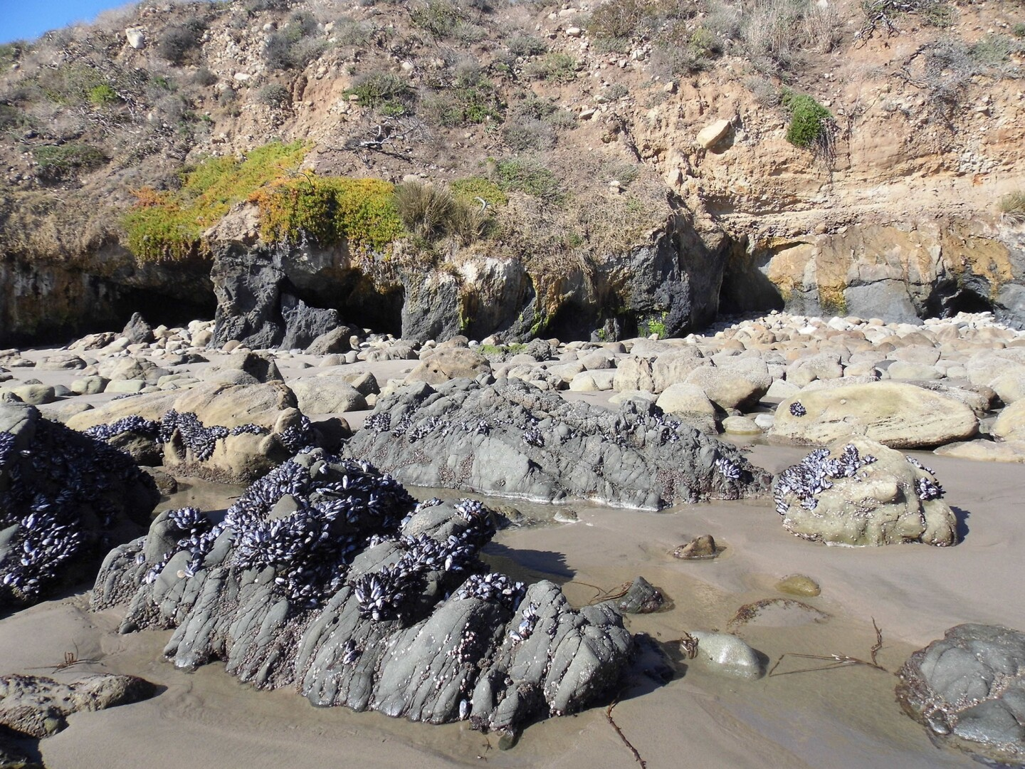 At low tide, Nicholas Canyon County Beach reveals mussels, clams and sea anemones clinging onto the rocks on the shore.