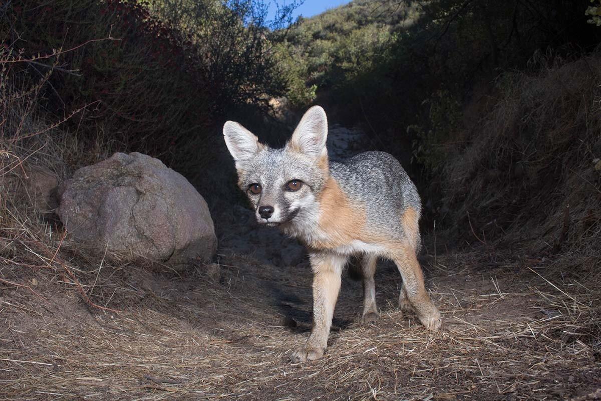 Western gray fox (Urocyon cinereoargenteus) of Griffith Park | Courtesy of Miguel Ordeñana