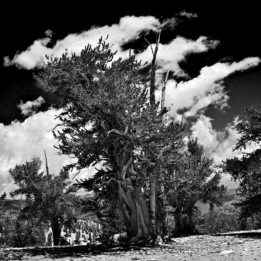 """""""Trees with Striped Clouds."""" Ancient Bristlecone Pine Forest, CA. 2009. 