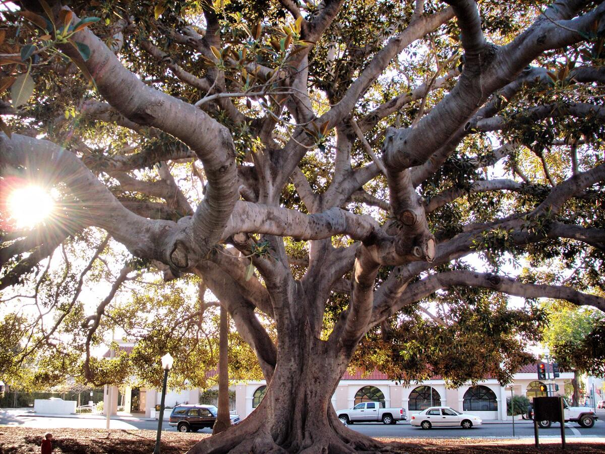 Moreton Bay fig tree | Wendell/Flickr
