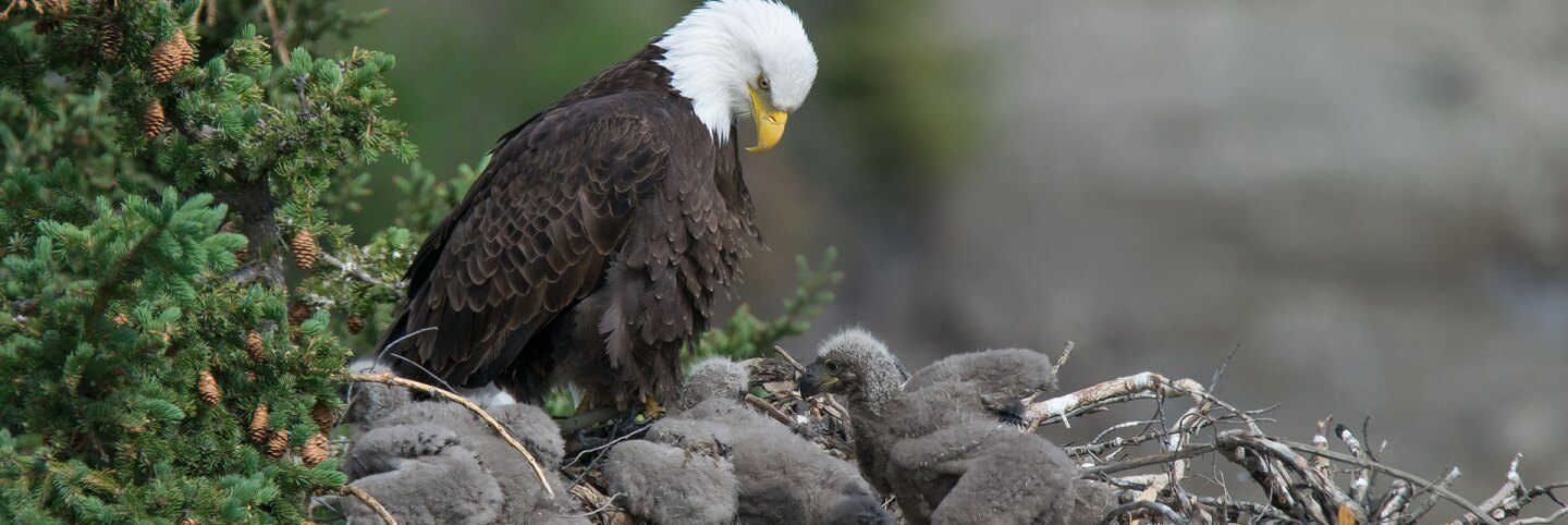 A bald eage looks over its three eaglets. | Keith Williams / Creative Commons