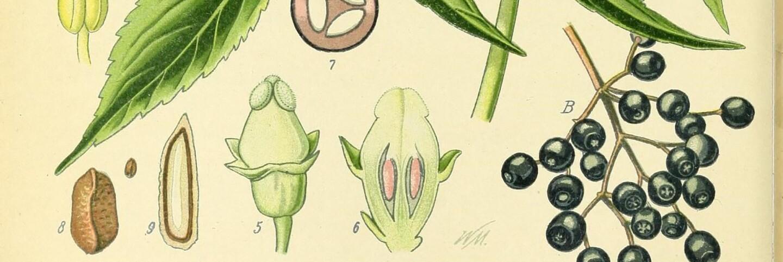 Botanical illustration of Elderberry plant parts