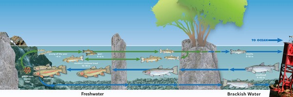 Life cycle of a steelhead (Click to enlarge) | Courtesy of Aquarium of the Pacific