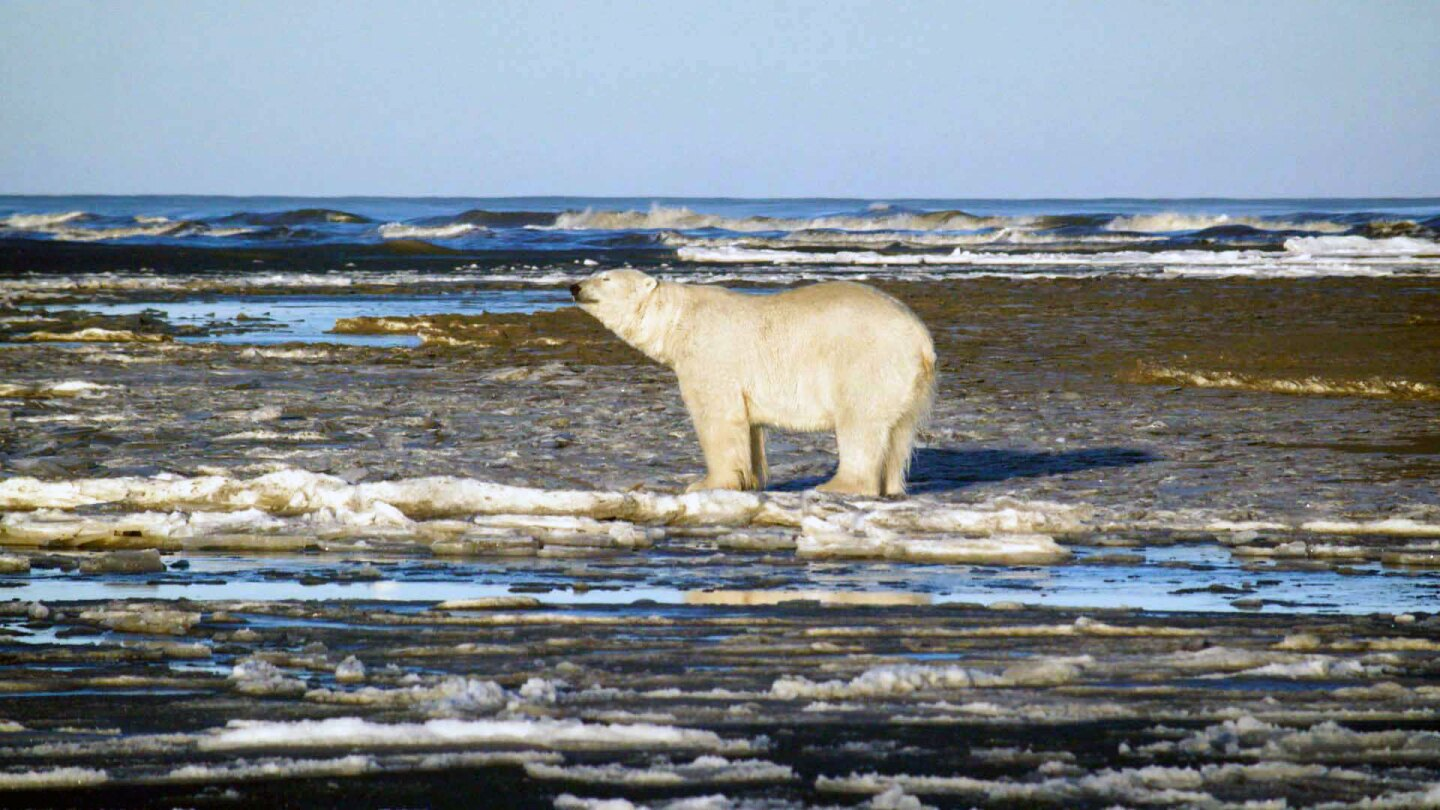 "Polar bear on North Slope of Alaska. | Still from ""Earth Focus"""