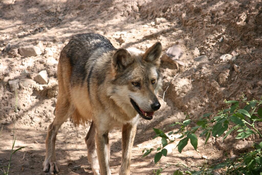 mex-wolf-3-4-16.jpg