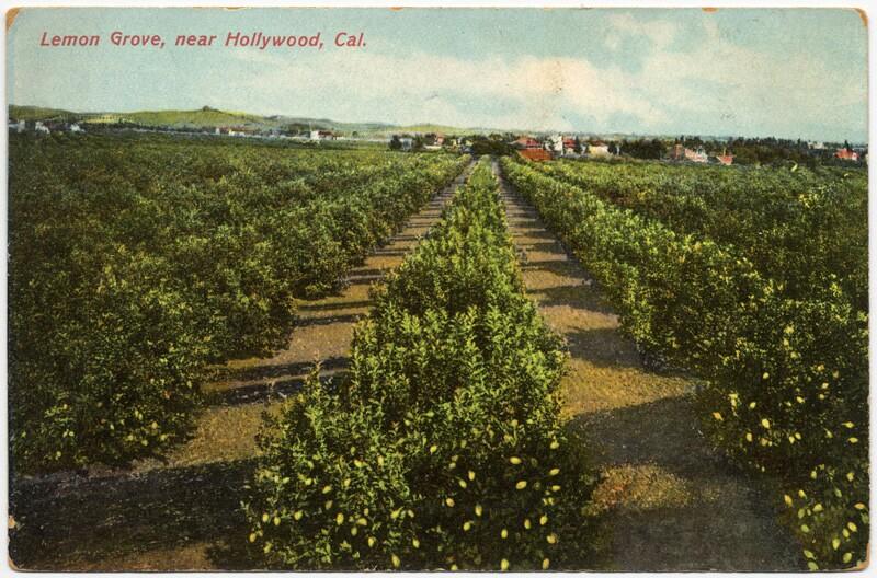 Postcard of a Hollywood lemon grove