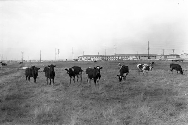 Cows grazing on Dominguez Hills site 1968 I Photo Courtesy of CSUDH Archives