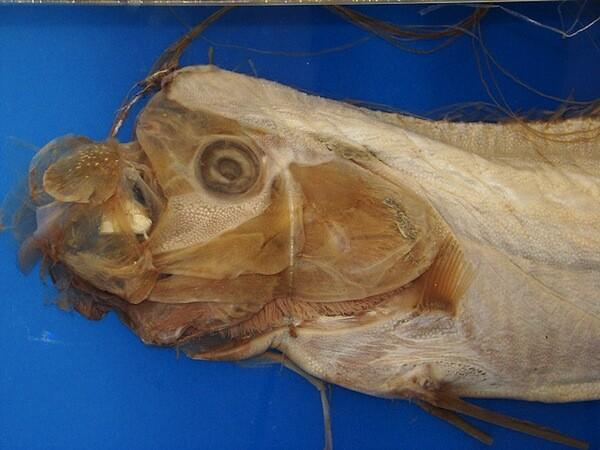 An oarfish on display in Japan