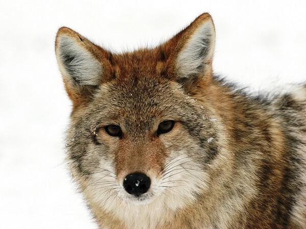 coyote-wildlife-services-7-3-14-thumb-600x450-76811