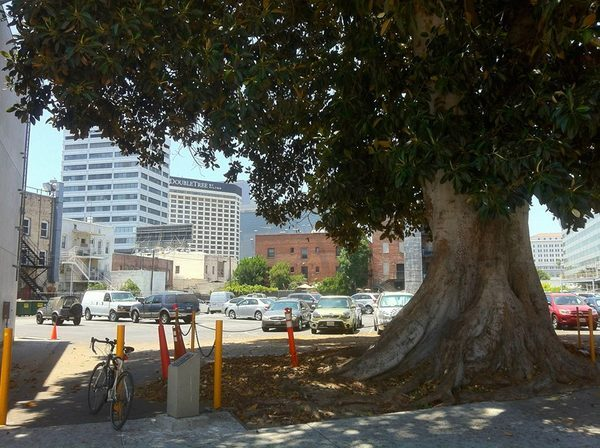 Almost a century-old Aoyama Tree, a city Historic Cultural Monument