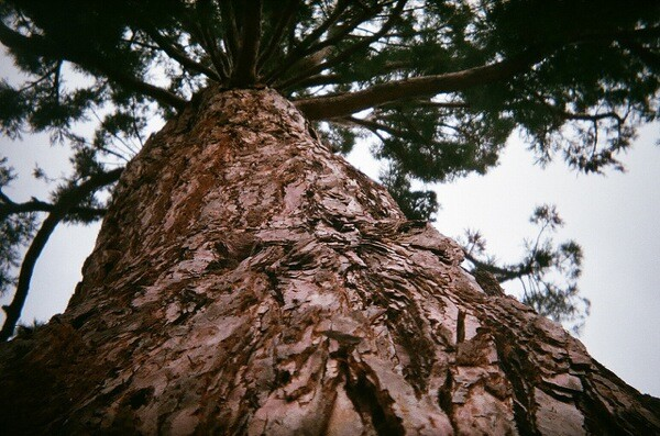 Detail of a redwood tree at the John Muir National Historic Site in Martinez, California