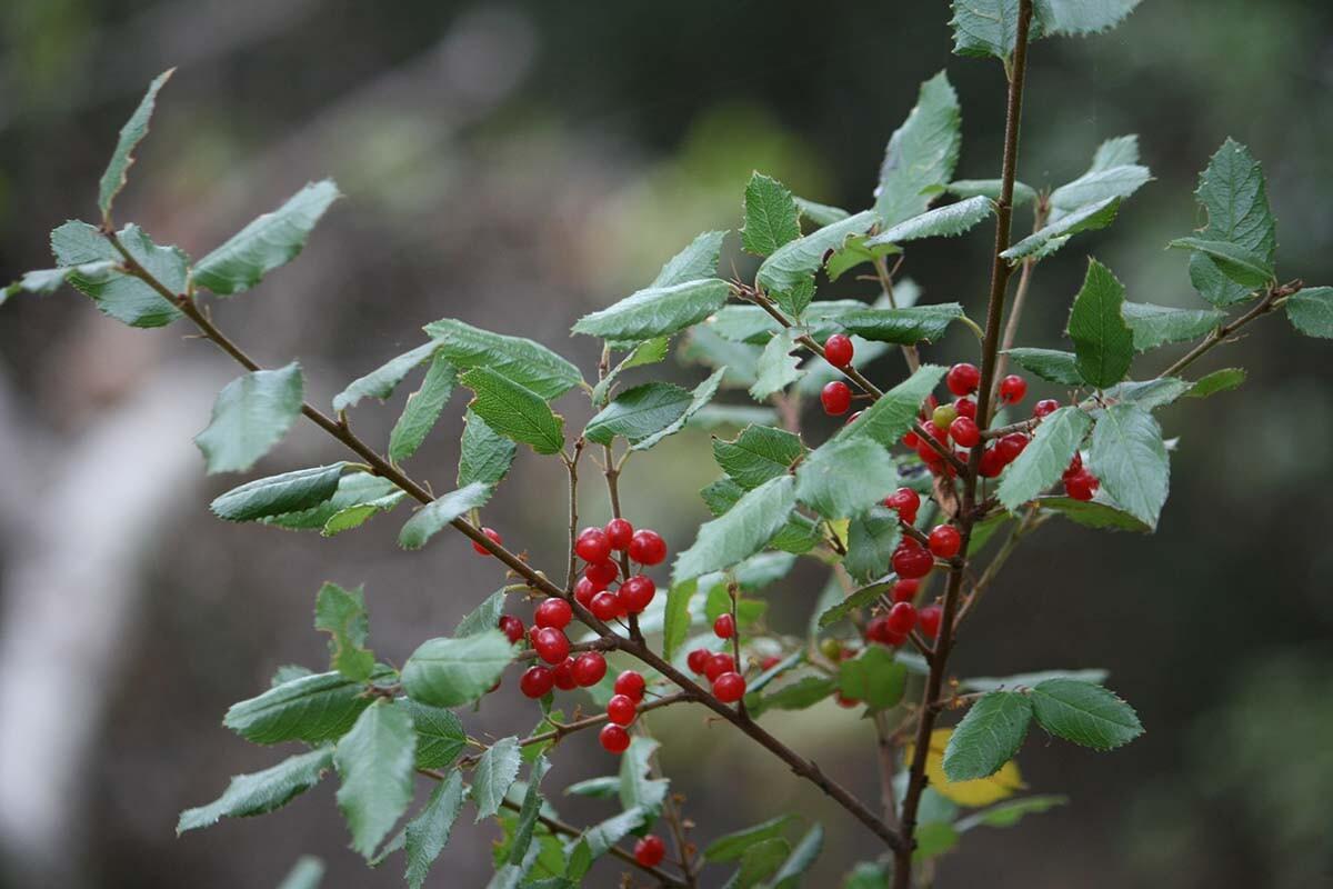 Hollyleaf redberry (Rhamnus ilicifolia) at Griffith Park| Courtesy of Gerry Hans