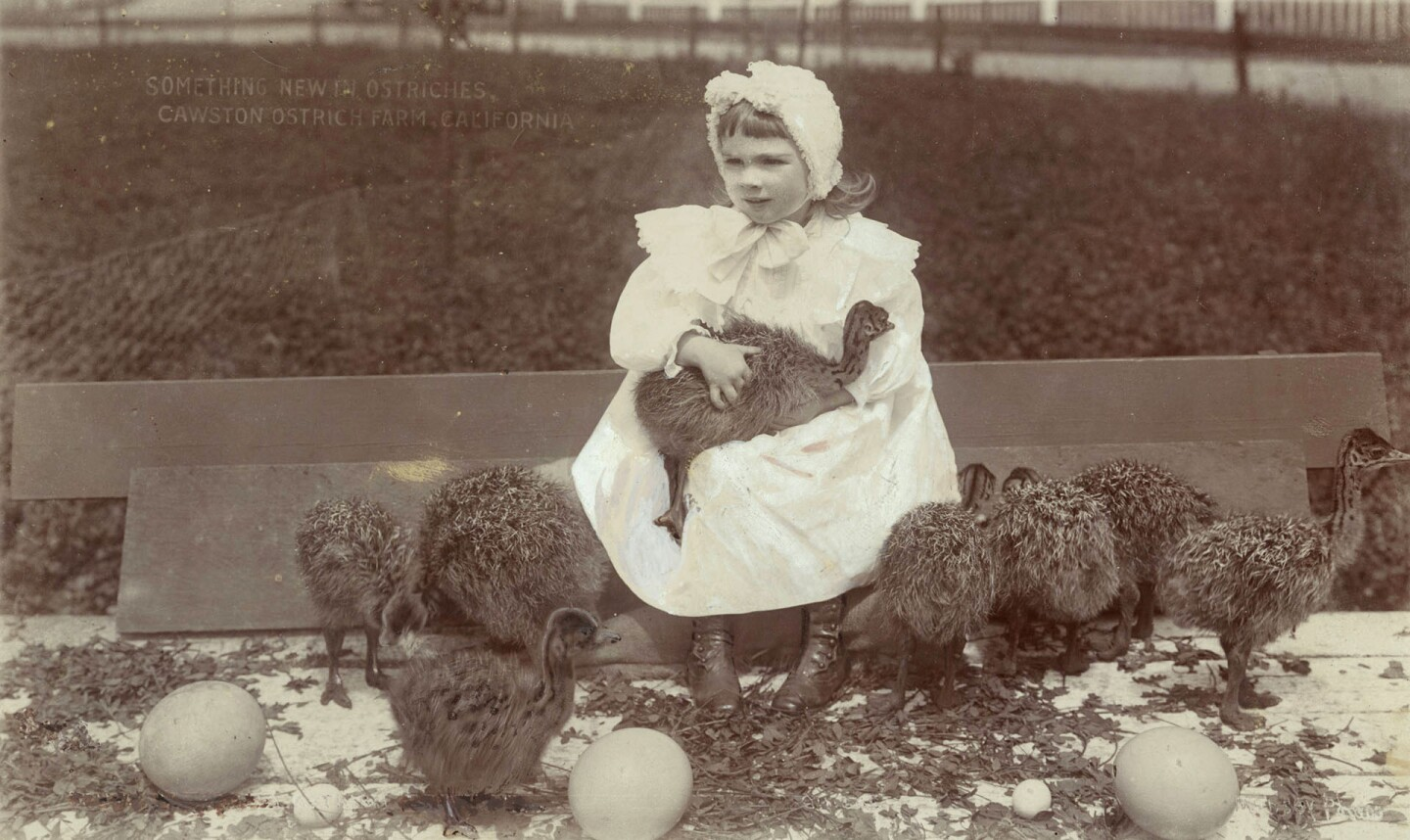A little girl holding baby ostriches