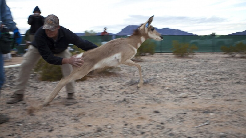 A Sonoran pronghorn is released into the Barry Goldwater Bombing Range in Arizona. Good luck, pal. | Photo: USAF