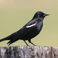 tricolored-blackbird-6-25-15-thumb-630x420-94630