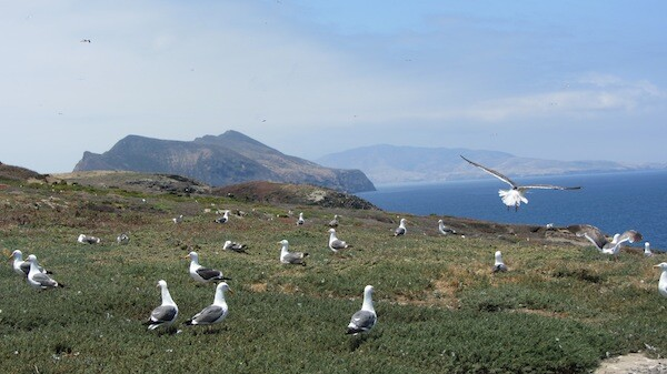 A field of gulls | Photo by Zach Behrens/KCET