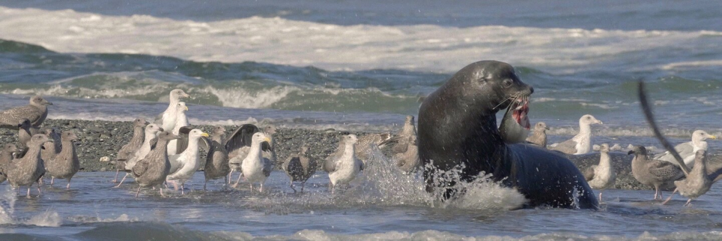 Sea Lion Feeding on Salmon with Onlooking Seagulls | Still from Tending Nature