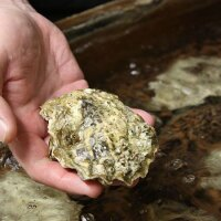 An oyster at Whiskey Creek Shellfish Hatchery in Netarts Bay, Oregon   Photo: Oregon State University