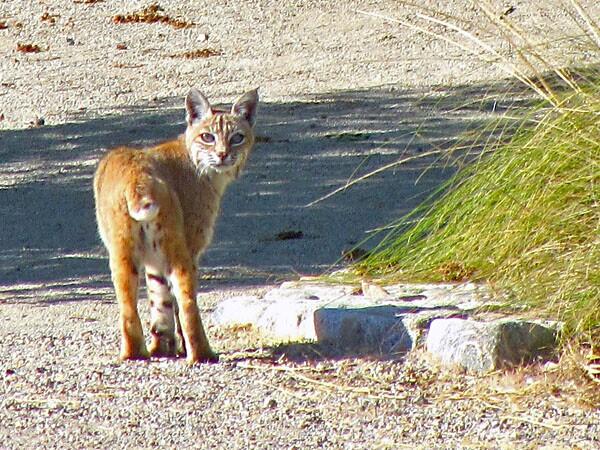 bobcat-behrens-2-12-13