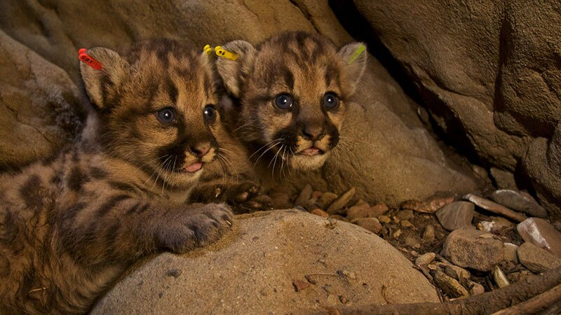 Puma kittens p50 p51 and-or p52