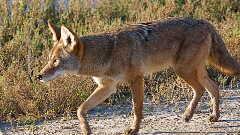 Coyote at Bolsa Chica wetlands | Photo: Teddy Llovet, some rights reserved