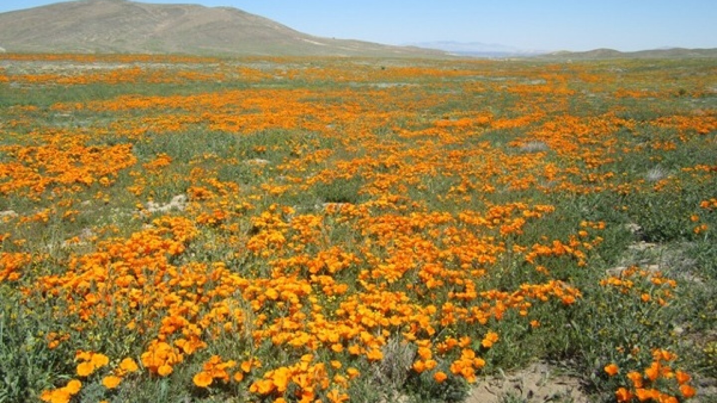 A photo at the Poppy Reserve on April 10, 2014, before officials announced peak bloom.   Photo: Courtesy CA State Parks