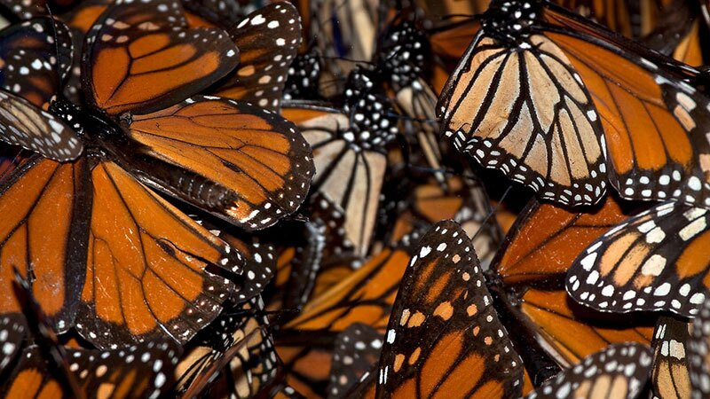 Monarch butterflies at Pismo Beach | Photo: Alice Cahill, some rights reserved