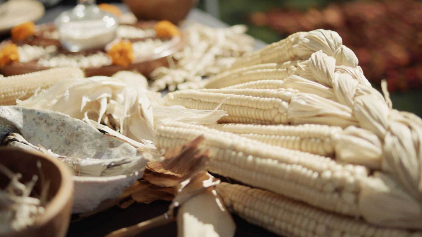 "Seneca white corn grown at the Cultural Conservancy. | Still from ""Tending Nature"" episode ""Cultivating Native Foodways with the Cultural Conservancy."""