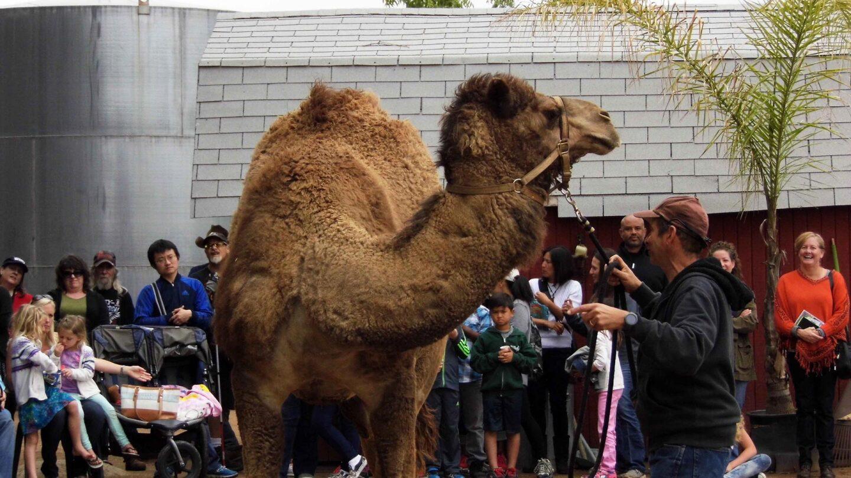 camel dairy
