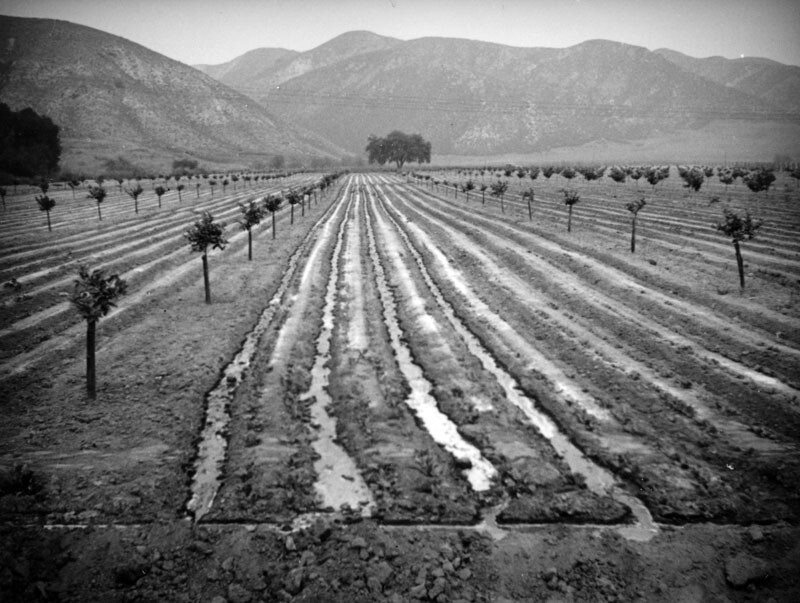 The mountains form the backdrop to this grove of baby orange trees in the San Fernando Valley. Channels between the rows are filled with water, demonstrating one method of irrigation. (1937)