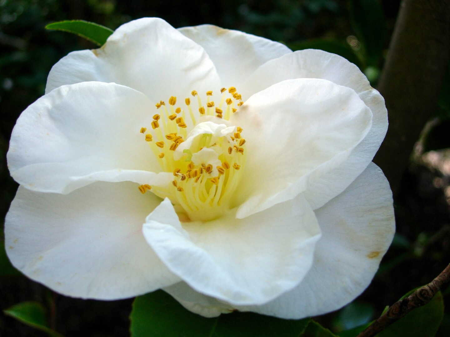 Camellia japonica 'Duchess of Sutherland'
