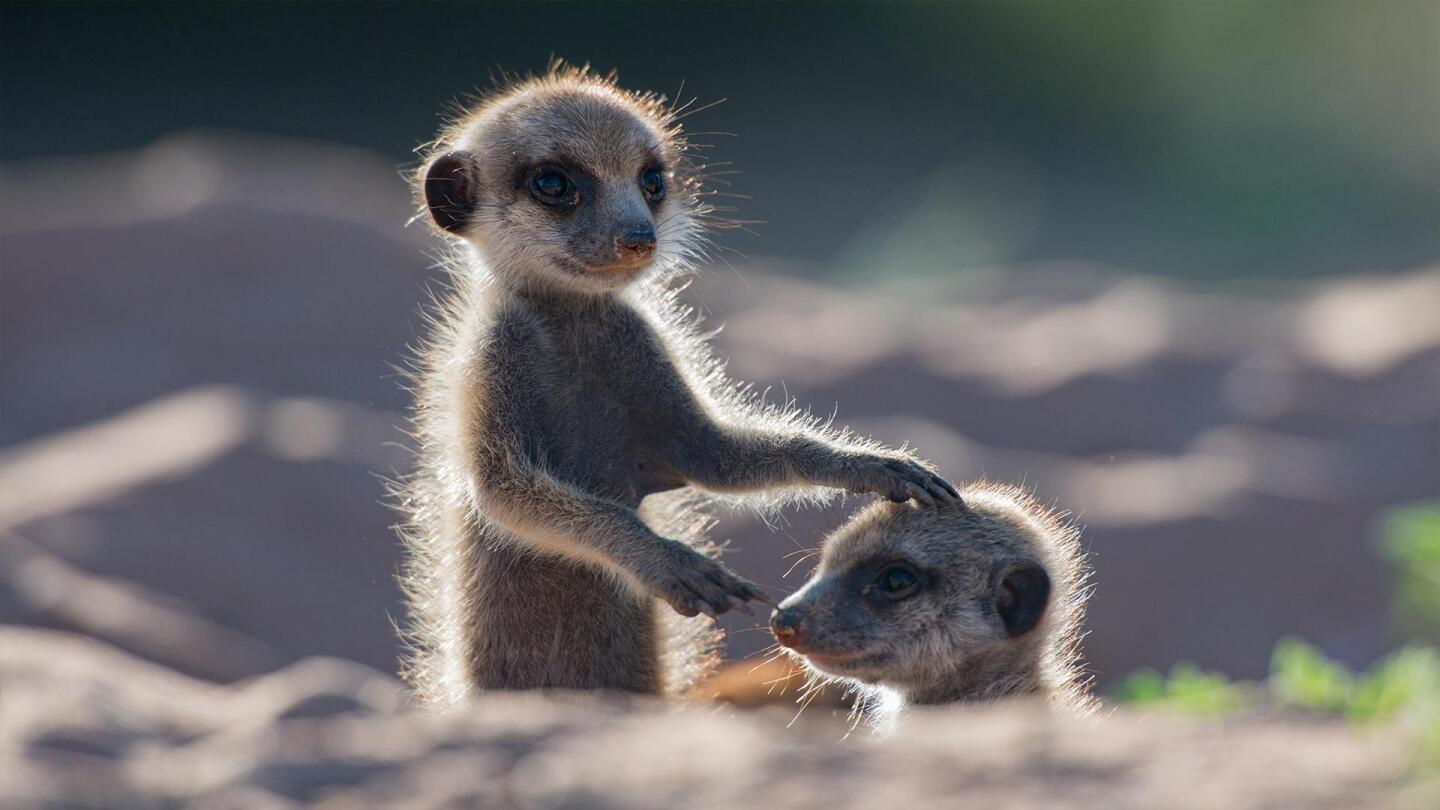 "A meerkat rests its hand on top of another meerkat's head. | ""Animals with Cameras, A Nature Miniseries"""