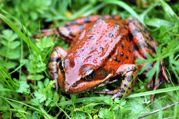 red-legged-frog-4-9-14-thumb-600x399-71934