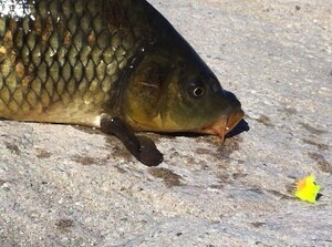 Golden Bonefish (a.k.a. carp) caught in the L.A. River | Photo: Jim Burns