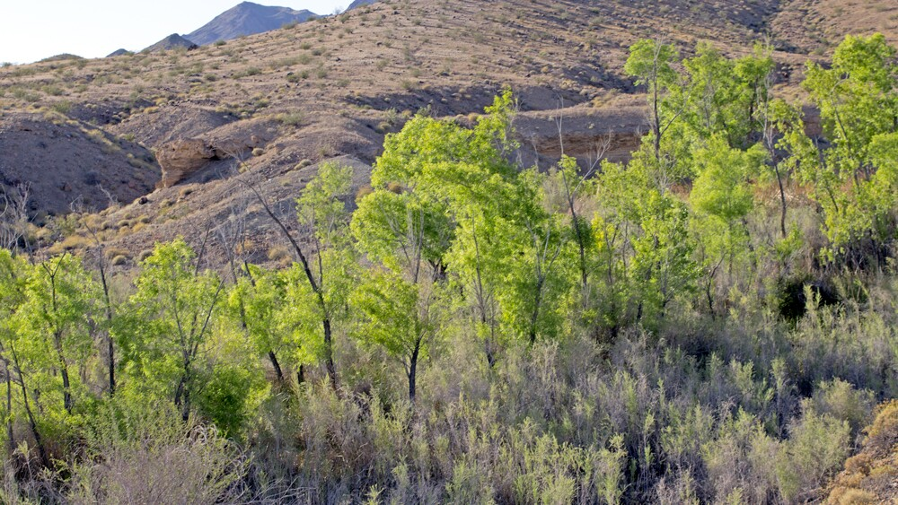 Willows and cottonwoods at Bonanza Spring | Photo: Chris Clarke