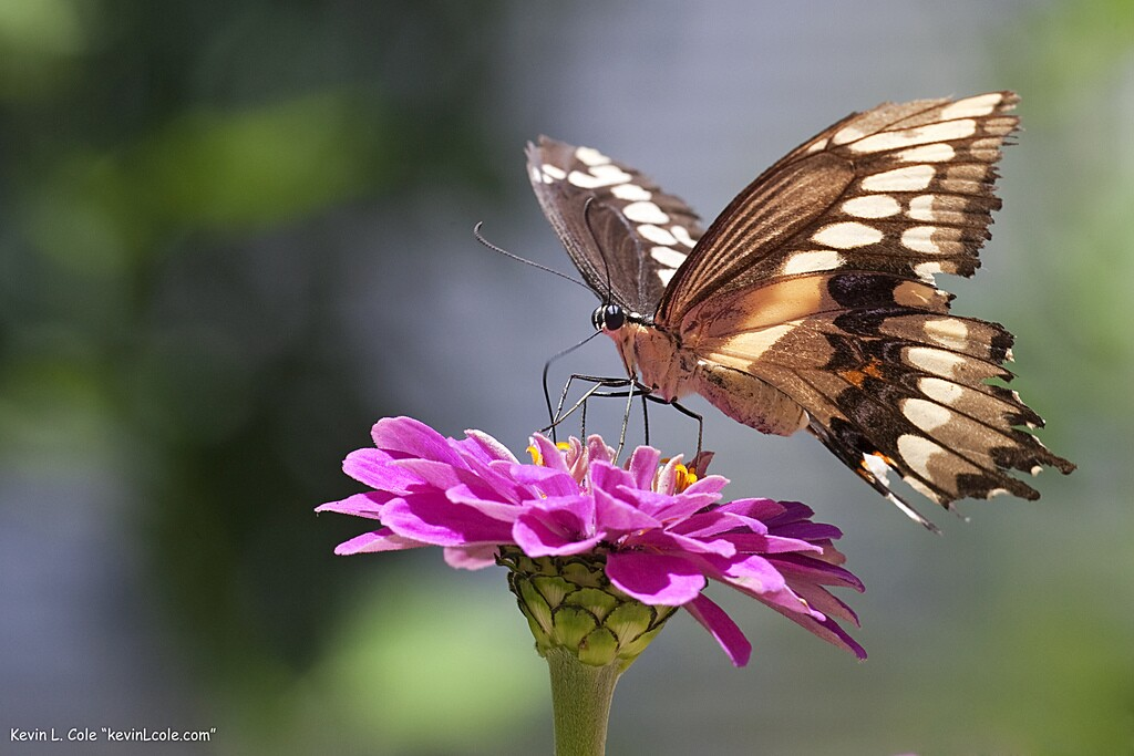 natural-history-butterfly-4-29-16.jpg