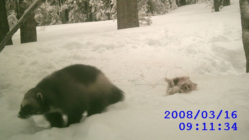 Camera trap photo of a wolverine in the Tahoe NF | Photo: CDFW