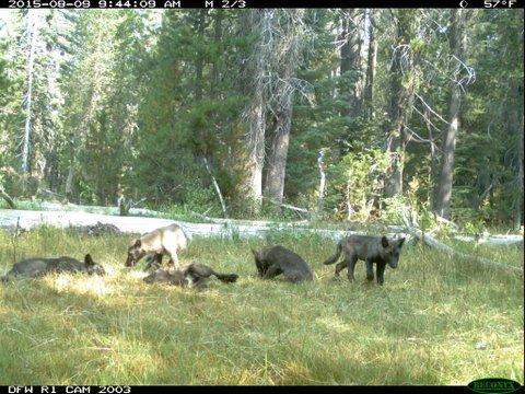 wolf-pups-jpg-thumb-630x472-96496